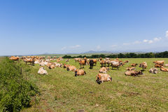 Nabiał krów pole Obrazy Stock