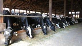 Nabiał krowy Fotografia Royalty Free