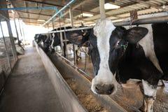Nabiał krowy Fotografia Stock