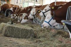 Nabiał krowy w stajni Obraz Stock