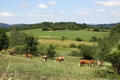 Nabiał krowy w Åumava krajobrazie, republika czech Fotografia Stock