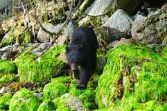 Nabrzeżni Czarni niedźwiedzie zdjęcie royalty free