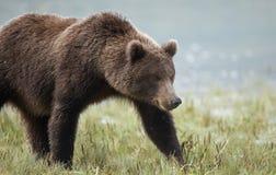 Nabrzeżny brown niedźwiedź Fotografia Royalty Free