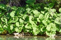 Nabrzeżny kubek Ogromni liście kubki na brzeg rzeki fotografia stock