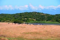 Nabrzeżne krowy Zdjęcie Stock