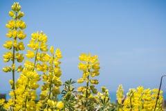 Nabrzeżny krzaka lupine Lupinus arboreus kwitnienie w Kalifornia Obrazy Stock