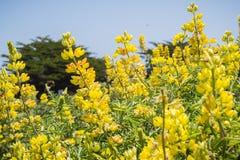 Nabrzeżny krzaka lupine Lupinus arboreus kwitnienie w Kalifornia Fotografia Royalty Free