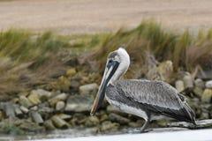 Nabrzeżny Luizjana Brown pelikan Obrazy Stock