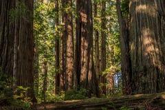 Nabrzeżny redwood drzewa krajobraz Zdjęcia Stock