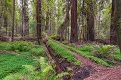 Nabrzeżny Redwood las w Kalifornia Zdjęcie Stock