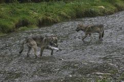 Nabrzeżny wilków łowić Obrazy Royalty Free