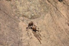Nach dem Baden auf Wasserpool ehrfürchtiger Verschluss des Affen haften auf geradem Stein an Lizenzfreies Stockbild