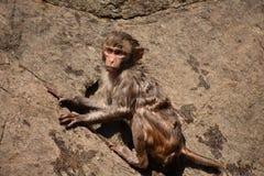 Nach dem Baden auf Wasserpool ehrfürchtiger Verschluss des Affen haften auf geradem Stein an Lizenzfreie Stockfotos