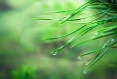 Nach dem Frühlingsregen Koniferennadeln mit Regentropfen stockfotografie