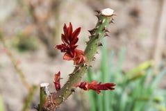 Nach dem Schnitt neuer Rosenbusch lässt das Wachsen lizenzfreie stockbilder