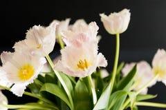 Nach dem Zufall vereinbarte weiße Tulpe blüht mit dunklem Hintergrund Lizenzfreie Stockfotos