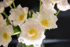 Nach dem Zufall vereinbarte weiße Tulpe blüht mit dunklem Hintergrund Stockfotografie