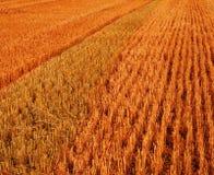 Nach einem Getreide Lizenzfreie Stockbilder
