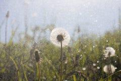 Nach Löwenzahnfeld im Sommerregen stockbilder