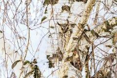 Nachahmeneule auf dem Hintergrund der Birke Stockfotos
