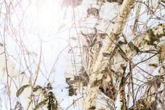 Nachahmeneule auf dem Hintergrund der Birke am sonnigen Tag Stockbilder