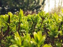 Nachdem Regen auf frischen grünen Busch mit kleinen Blättern und Spinnennetz fällt Stockfotos