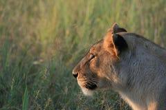 Nachdenkliche Löwin stockfotos