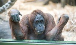 Nachdenklicher Affe Stockbild