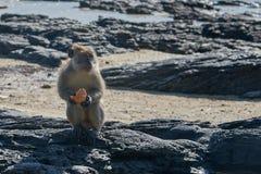 Nachdenklicher Affe mit einer Mahlzeit auf dem Strand Stockbilder