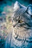 Nachdenklicher Blick einer alten Katze lizenzfreies stockbild