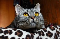 Nachdenklicher Blick einer Katze Stockfotografie
