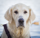 Nachdenklicher golden retriever-Hund stockfoto