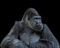 Nachdenklicher Gorilla Lizenzfreies Stockbild