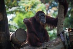 Nachdenklicher Primas schaut oben Lächelnder Orang-Utan sitzt allein auf dem Baum Lizenzfreie Stockfotos