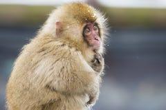 Nachdenklicher wilder Baby-Schnee-Affe Lizenzfreie Stockbilder