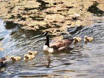 Nachkommenschaft (Gooses) Lizenzfreie Stockfotos