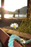 Nachmittags-Gänseblümchen Stockbild