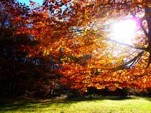 Nachmittagssonne, die zwischen goldenen Herbstblättern scheint stockfoto