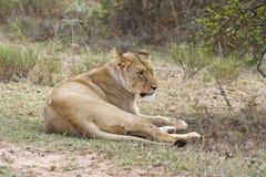 Nachsinnen über der Löwin Lizenzfreie Stockfotografie