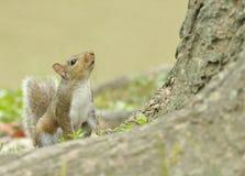 Nachsinnen über des Lebens eines Eichhörnchens Lizenzfreie Stockfotografie