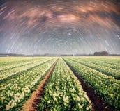Nacht über Feldern von Narzissen Fantastischer sternenklarer Himmel und die Milchstraße Stockfotografie