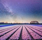 Nacht über Feldern von Narzissen Fantastischer sternenklarer Himmel und die Milchstraße Lizenzfreies Stockbild