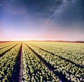Nacht über Feldern von Narzissen Fantastischer sternenklarer Himmel und die Milchstraße Lizenzfreies Stockfoto