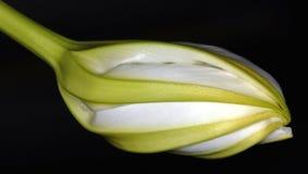 Nacht-bloeit Moonflower Royalty-vrije Stock Foto