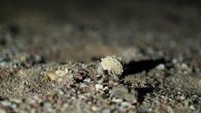 Nacht, close-up die, een kleine kluizenaarkrab in het zand kruipen stock footage