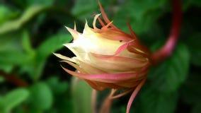Nacht der Blume 12 (bunga joyo kusumo) Lizenzfreies Stockbild