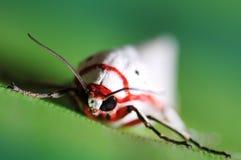 Nachtelijk insect Stock Foto