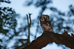 Nachteulenbild Kleiner Vogel im Holz Nördliche Eule, Aegolius-funereus, sitzend auf dem Baumast im grünen Waldhintergrund Eule Lizenzfreies Stockfoto
