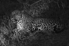 Nachtfoto van mannelijke luipaard Royalty-vrije Stock Fotografie