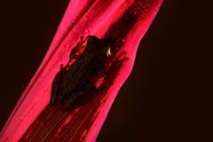 Nachtfrosch, Hintergrundbeleuchtung Tropischer Frosch Stauffers Treefrog, Scinax-staufferi, sitzend auf rosa Blättern Frosch im t stockbild